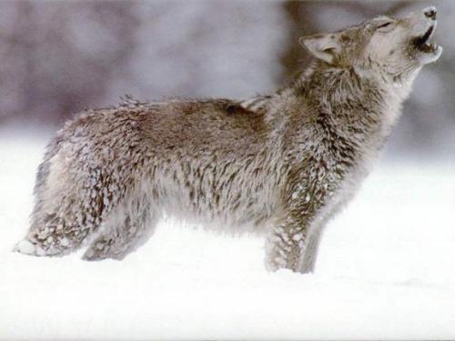 snowwolf